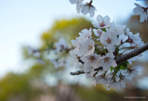 Sakura, close up of blossoms