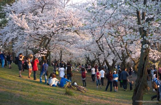 Cherry Blossom (Sakura) in High Park, Toronto
